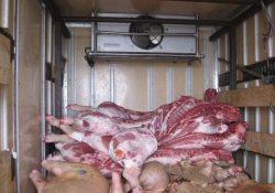 Неправильная перевозка свиных туш навалом.